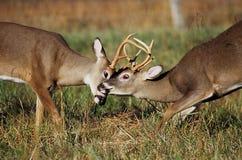 Sparring de types de cerfs communs suivi par blanc Photographie stock libre de droits