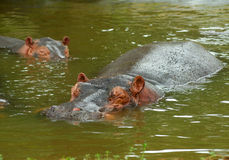 Sparring Hippos Stock Images