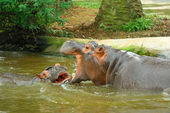 Sparring Hippos Stock Image
