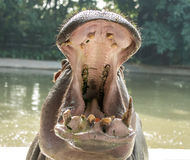 Sparring Hippos in zoo Stock Images