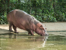 Sparring Hippos in zoo Stock Photography