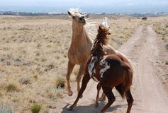 Sparring Palomino Paint Horses. Two Palominos spar on a dirt road with manes flying in the wind Stock Photography