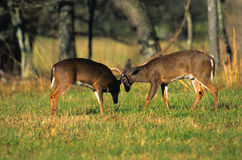 Sparring Whitetail Bucks Royalty Free Stock Photos