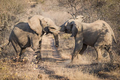 Sparringsolifanten, Balule-Reserve, Zuid-Afrika Royalty-vrije Stock Afbeelding