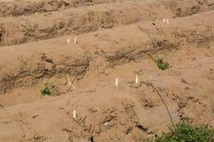 Sparris i fältet, sparrisskörd i Abensberg Arkivbilder