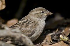 sparrow żywopłotu Fotografia Stock