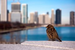 Sparrow. A sparrow with Chicago skyline in the background Royalty Free Stock Photography