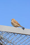 The sparrow. The sitting sparrow under the blue sky Royalty Free Stock Photo