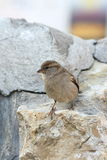 The sparrow. During the spring day Stock Images