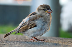 Sparrow. Sitting on the stone Royalty Free Stock Photo