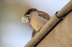 Sparrow. With blow in the pecker Royalty Free Stock Photos