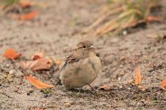 Sparrow Royalty Free Stock Photos