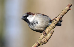 Sparrow. Male sparrow on a branch Royalty Free Stock Images