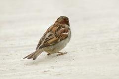 Sparrow. Closeup of a sparrow Stock Images