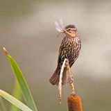 Sparrow. Perched on Cat Tail with Dragonfly in Beak Stock Image