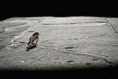 Sparrow. Lonely sparrow sitting on pavt royalty free stock photo