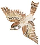 Sparrow. Painting of a sparrow flying in isolation Stock Image