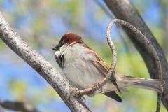Sparrow. Royalty Free Stock Photo