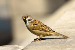 Sparrow. A sparrow is standing on the step stock photos
