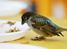 Sparrow. Steals crumbs from a plate royalty free stock image