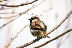 Sparrow. In a tree royalty free stock images