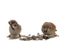 sparrow Arkivbild