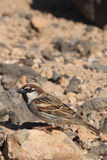 Sparrow. Perched from Fuerteventura canary islands spain Stock Image