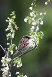 A sparrow. Stock Photography