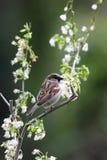 A sparrow. Stock Photography