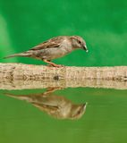 Sparrow. Royalty Free Stock Image