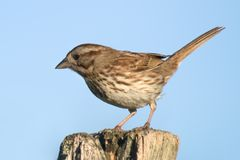 Sparrow 2 Royalty Free Stock Image