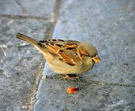 sparrow 2 fotografering för bildbyråer