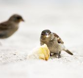Sparrow. Eating a bread crumb Stock Photo
