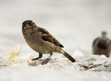 Sparrow. Eating a bread crumb Stock Photography