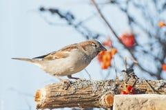 sparrow Royaltyfri Fotografi