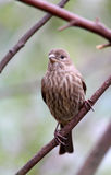 Sparrow. Close Up Common Mottled House Sparrow Sitting On Tree Branch Facing Front Royalty Free Stock Images