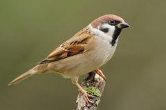 Sparrow. This is a small bird, witch you can find very often in germany´s trees Stock Photos