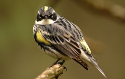 Sparrow. Color photo of white-throated sparrow looking intently at viewer royalty free stock photo