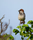 A sparrow Stock Image