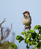 A sparrow Stock Image