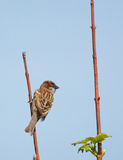 A sparrow. On the lookout stock image