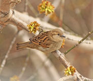 Sparrow. Closeup grey sparrow sitting on a branch Royalty Free Stock Image