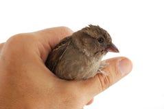 Sparrow Stock Photo