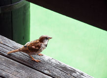 Sparrow. Beautiful Little Sparrow Standing on the Board Stock Photography