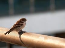 Sparrow. White-throated Sparrow bird closeup Royalty Free Stock Photo