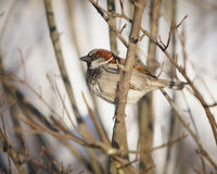 Sparrow. House sparrow Passer Domesticus in natural habitat of tree branches Stock Photography
