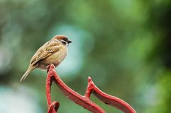 Sparrow-3. A sparrow is standing on an iron door Stock Photo