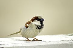 Sparrow. Colorful portrait of the sparrow Stock Images