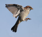 Sparrow. Small sparrow about to land Stock Images