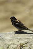Sparrow. A sparrow landed on a rock Royalty Free Stock Photography